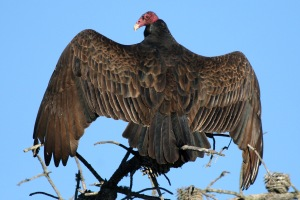 Turley Vulture, sunbathing (Morro Bay, 12-07)